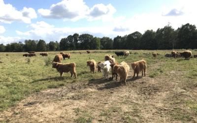 Highland Cattle – einjährige Bio Absatz Kälber zur Abgabe