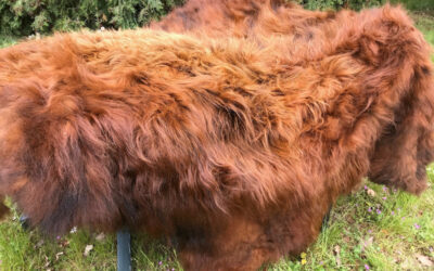 Highland Cattle – wunderschönes Fell vom Schottischen Hochlandrind zum Verkauf