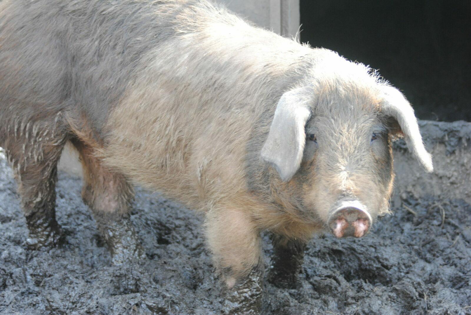 Husumer Sattelschwein – Dänisches Protestschwein